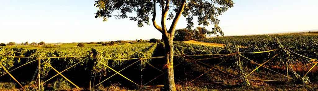 joiseph vineyard
