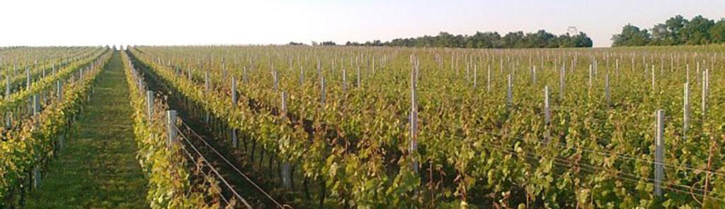 nestarec vineyard 2
